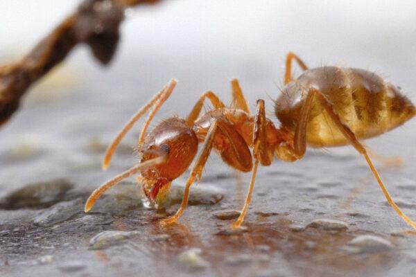 Crazy Ant (Nylanderia fulva), Buenos Aires, Argentina.